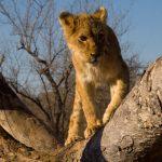 Lion cub in tree - George Philip