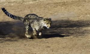 Cheetah-100