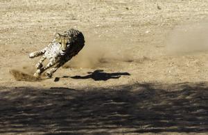 Cheetah-101