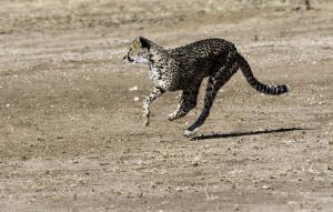 Cheetah-103