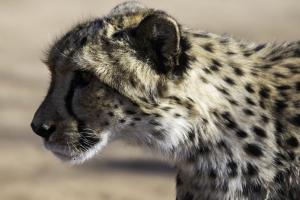 Cheetah-105