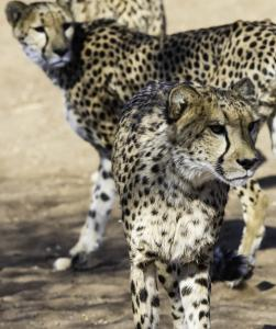 Cheetah-107