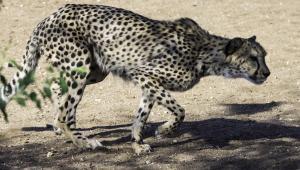 Cheetah-108
