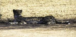 Cheetah-109
