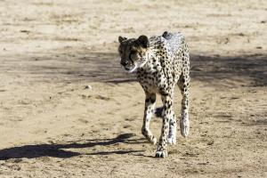 Cheetah-110