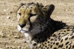 Cheetah-112