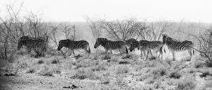 zebras-100